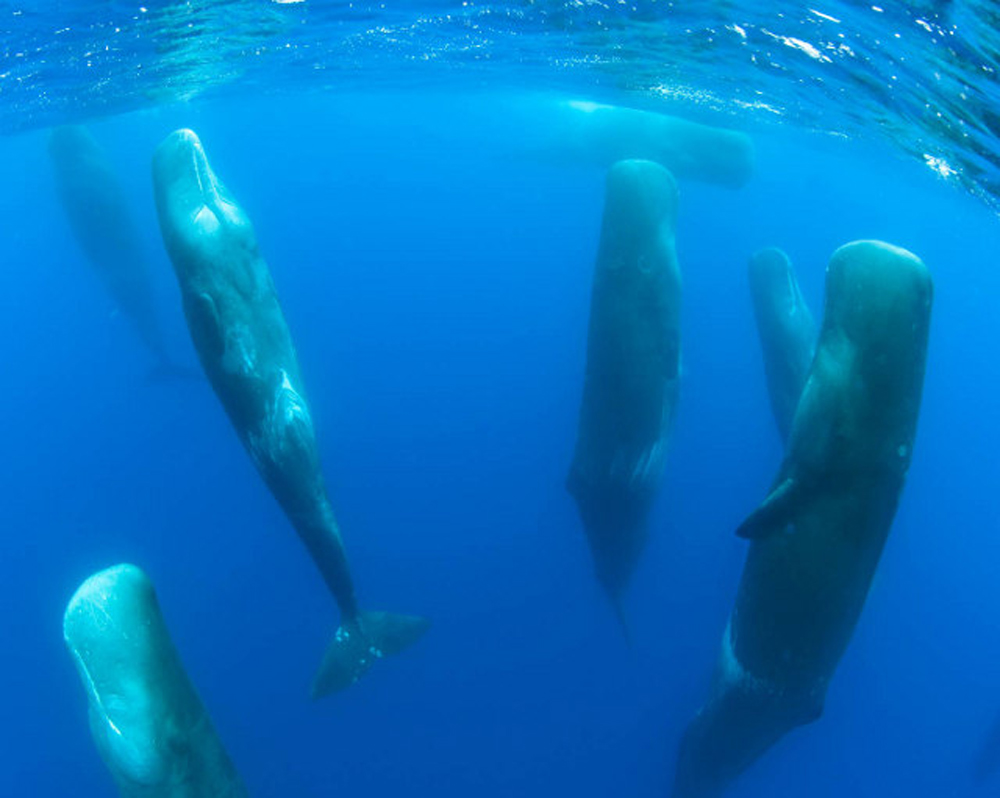 project EDELWEIS sperm whales